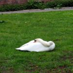 Just chillin snoozin naptime swan scary largerthanyoudthink hamburglife